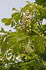Aesculus hippocastanum, Gemeine Rosskastanie | Stock Foto