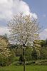 Frühlingslandschaft mit Kirschbäumen im April, Hagen | Stock Foto