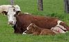 Braune Kuh mit weißem Gesicht und jungem Kalb in Deutschland | Stock Foto