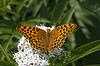 Argynnis paphia, Kaisermantel | Stock Foto