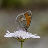 Coenonympha pamphilus, Small Heath Schmetterling | Stock Foto