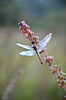 Dragonfly in drops of dew | Stock Foto