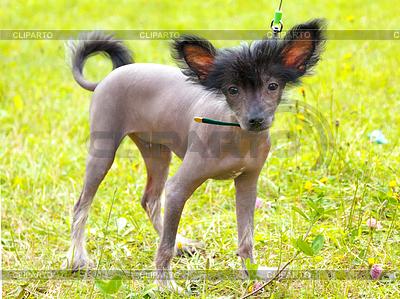 Dog Chinese Crested Dog breed | Foto stockowe wysokiej rozdzielczości |ID 4225881