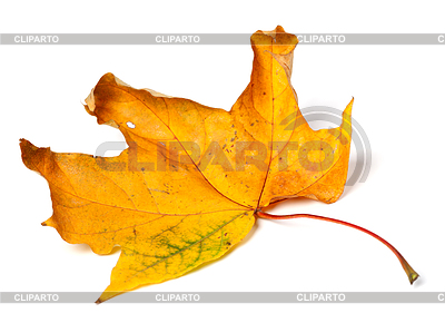 Gelb getrocknet Herbst Ahorn-Blatt | Foto mit hoher Auflösung |ID 4514905