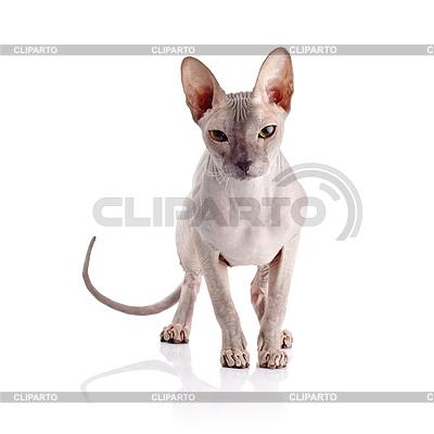 Fotos del gatito desnudo