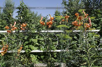 Leuchtend orange mit schwarzen Sprenkeln Lilie | Foto mit hoher Auflösung |ID 4482967