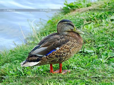 Mallard duke on lakeside | Foto stockowe wysokiej rozdzielczości |ID 4085938