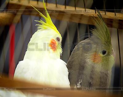 Zwei Papagei im Käfig | Foto mit hoher Auflösung |ID 4169418