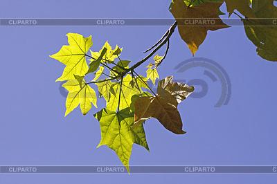 Acer saccharum, Zucker-Ahorn, Blätter im Licht | Foto mit hoher Auflösung |ID 4156728