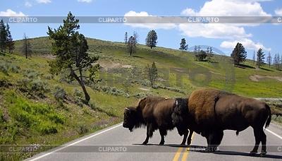 Zwei Bisons auf der Strecke, Yellowstone-Nationalpark | Foto mit hoher Auflösung |ID 4379157
